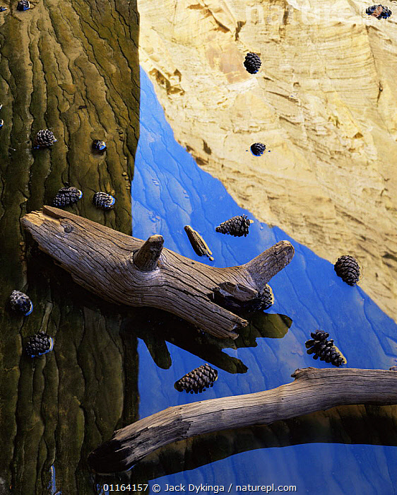 Ponderosa pine cones {Pinus ponderosa} and drift wood amid canyon wall reflections in Death Hollow, Grand Staircase-Escalante, Utah, USA  ,  ABSTRACT,ARTY,CONES,DESERTS,NORTH AMERICA,REFLECTIONS,RESERVE,USA,VERTICAL,WATER,Catalogue1  ,  Jack Dykinga