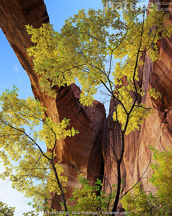 Escalante natural stone bridge with Box elder in foreground {Acer negundo}, Grand Staircase-Escalante, Utah, USA  ,  ARCH,ARTY,DESERTS,NORTH AMERICA,RESERVE,ROCK FORMATIONS,TREES,USA,VERTICAL,Geology,Plants  ,  Jack Dykinga