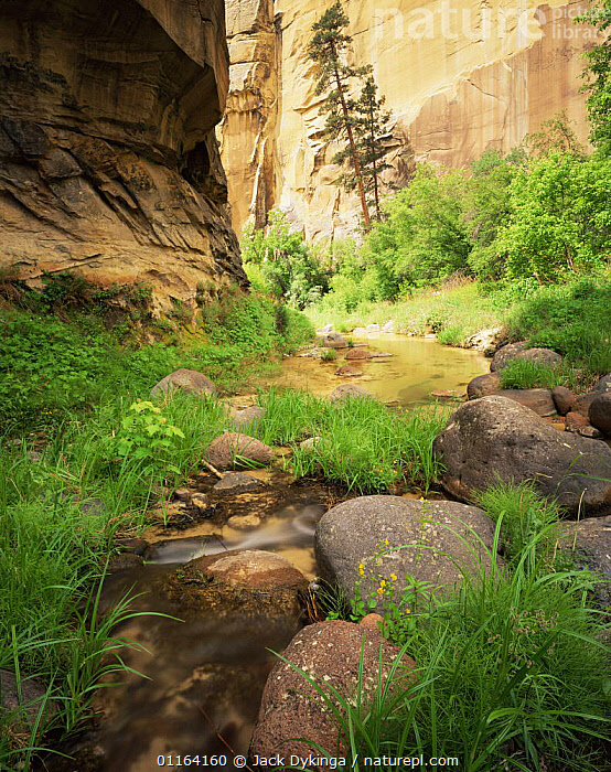 Yellow monkey flower {Mimulus guttatus} and Ponderosa pine {Pinus ponderosa} growing beside water in Death Hollow, Grand Staircase-Escalante, Utah, USA  ,  CLIFFS,DESERTS,LANDSCAPES,NORTH AMERICA,PLANTS,RESERVE,RIVERS,USA,Geology  ,  Jack Dykinga