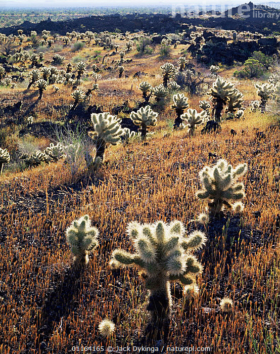 Teddy bear cholla cactus {Opuntia bigelovii} growing on volcanic lava flow, Pinacate and Gran Desierto Altar Biosphere Reserve, Sonoran desert, Mexico  ,  CACTI,CACTUS,CENTRAL AMERICA,DESERTS,GRASS,LANDSCAPES,MEXICO,PLANTS,RESERVE,VERTICAL,CENTRAL-AMERICA,Catalogue1  ,  Jack Dykinga