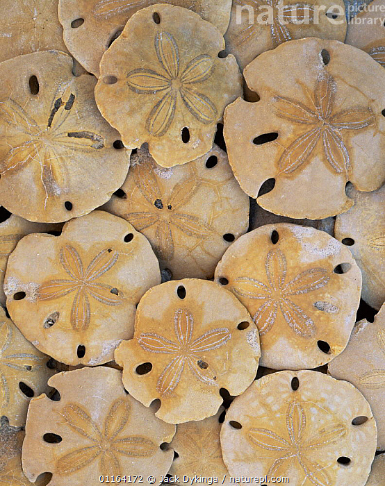 Fossil sand dollars found in sand beneath cliffs of Sonora, El Golfo Biosphere Reserve, Mexico  ,  CENTRAL AMERICA,DESERTS,FOSSILS,INVERTEBRATES,MARINE,MEXICO,MOLLUSCS,RESERVE,SHELLS,VERTICAL,CENTRAL-AMERICA  ,  Jack Dykinga