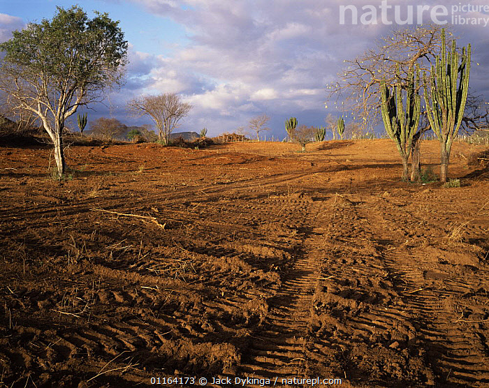 Hillside cleared for growing Buffel grass with only a few remaining cacti and trees, Sierra Alamos, Sonora, Mexico - vehicle tracks in sand  ,  CENTRAL AMERICA,CROPS,DEFORESTATION,DESERTS,DESTRUCTION,EROSION,HABITAT,LANDSCAPES,MEXICO,RESERVE,SONORAN,CENTRAL-AMERICA  ,  Jack Dykinga