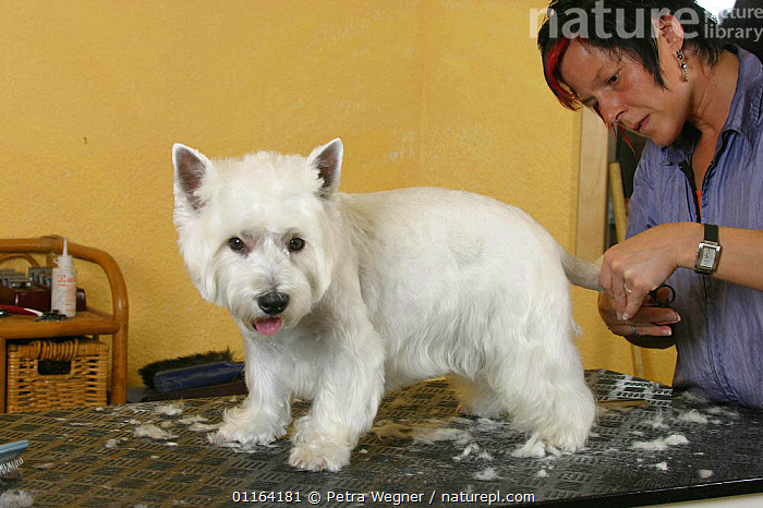 Woman shearing West Highland White Terrier / Westie with scissors  ,  DOGS,GROOMING,PEDIGREE,PEOPLE,PETS,TERRIERS,VERTEBRATES,Canids  ,  Petra Wegner