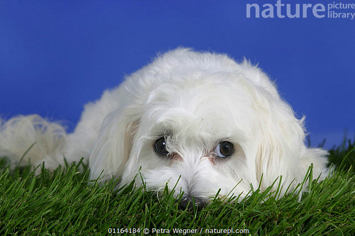 Domestic dog, Maltese lying down  ,  CUTE,DOGS,FACES,LYING DOWN,PEDIGREE,PETS,STUDIO,TOY DOGS,VERTEBRATES,WHITE,Canids  ,  Petra Wegner