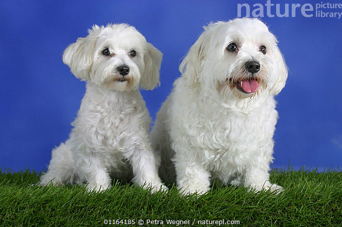 Domestic dog, Maltese pair  ,  BITCH,DOGS,FAT,FEMALE,MALE,PANTING,PEDIGREE,PETS,SITTING,STUDIO,TOY DOGS,TWO,VERTEBRATES,WHITE,Canids  ,  Petra Wegner