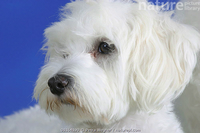 Domestic dog, Maltese portrait  ,  CURE,DOGS,FACES,HEADS,PEDIGREE,PETS,STUDIO,TOY DOGS,VERTEBRATES,WHITE,Canids  ,  Petra Wegner