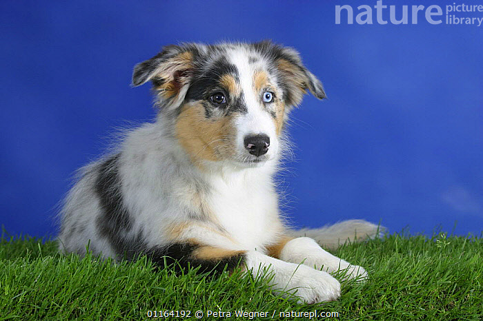 Domestic dog, blue-merle Australian Shepherd puppy with eyes of different colours, 3 months  ,  BABIES,BABY,CUTE,DOGS,JUVENILE,LYING DOWN,PASTORAL,PEDIGREE,PETS,PUPPIES,PUPPY,STUDIO,VERTEBRATES,Canids  ,  Petra Wegner