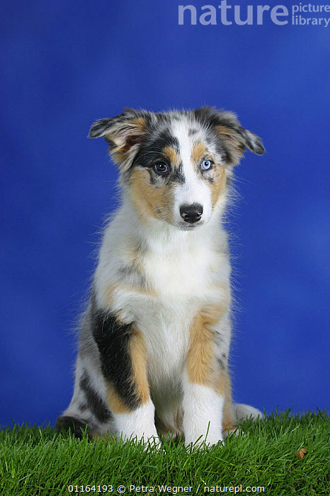 Domestic dog, blue-merle Australian Shepherd puppy with eyes of different colours, 3 months  ,  BABIES,BABY,CUTE,DOGS,JUVENILE,PASTORAL,PEDIGREE,PETS,PUPPIES,PUPPY,SITTING,STUDIO,VERTEBRATES,VERTICAL,Canids  ,  Petra Wegner