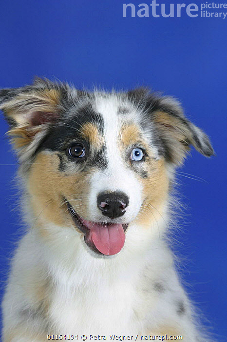 Domestic dog, blue-merle Australian Shepherd puppy with eyes of different colours, 3 months  ,  BABIES,BABY,CUTE,DOGS,FACES,JUVENILE,PANTING,PASTORAL,PEDIGREE,PETS,PUPPIES,PUPPY,SMILING,STUDIO,VERTEBRATES,VERTICAL,Canids  ,  Petra Wegner