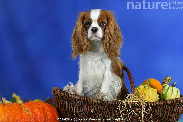 Domestic dog, Cavalier King Charles Spaniel (Blenheim) in basket among pumpkins and squashes.  ,  CUTE,DOGS,PEDIGREE,PETS,SITTING,STUDIO,TOY DOGS,VEGETABLES,VERTEBRATES,Canids  ,  Petra Wegner