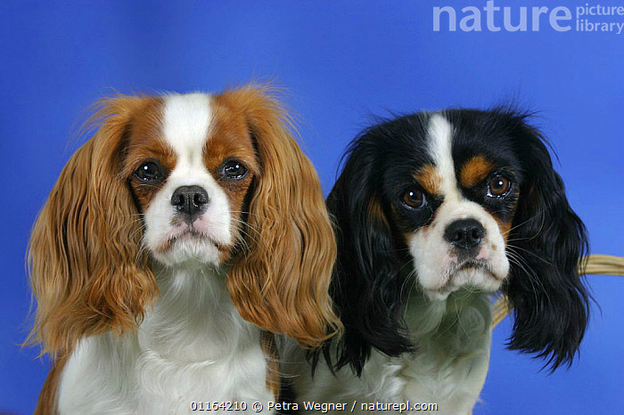 Domestic dog, Cavalier King Charles Spaniel (Blenheim and tricolor)  ,  COLOR,COLOUR,CUTE,DOGS,FACES,FRIENDS,PEDIGREE,PETS,STUDIO,TOY DOGS,TWO,VERTEBRATES,Canids  ,  Petra Wegner