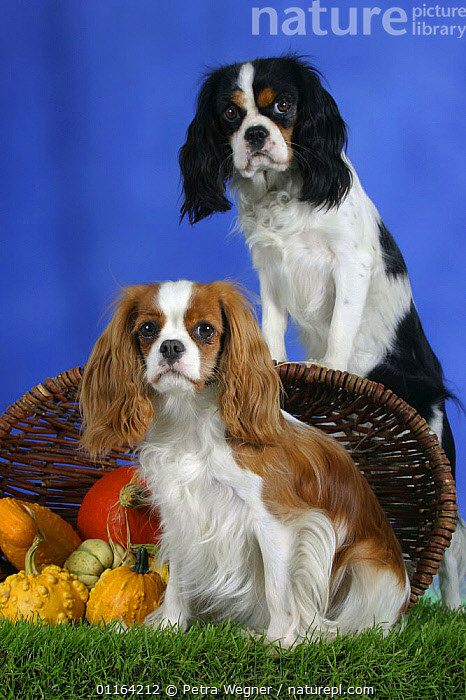 Domestic dog, Cavalier King Charles Spaniel (Blenheim and tricolour)  ,  DOGS,FRIENDS,PEDIGREE,PETS,SITTING,STUDIO,TOY DOGS,VERTEBRATES,VERTICAL,Canids  ,  Petra Wegner