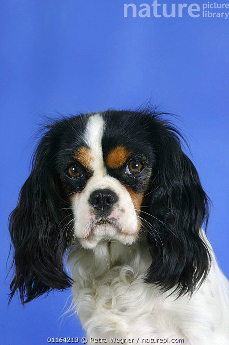 Domestic dog, Cavalier King Charles Spaniel (tricolor)  ,  DOGS,FACES,HEADS,PEDIGREE,PETS,STUDIO,TOY DOGS,VERTEBRATES,VERTICAL,Canids  ,  Petra Wegner