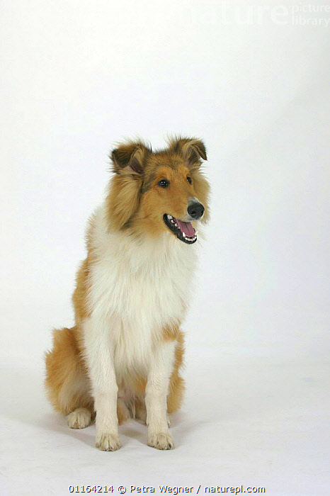 Domestic dog, Rough Collie puppy, 5 months old  ,  BABIES,BABY,CUTE,CUTOUT,DOGS,JUVENILE,PANTING,PASTORAL,PEDIGREE,PETS,PUPPIES,PUPPY,STUDIO,VERTEBRATES,VERTICAL,Canids  ,  Petra Wegner