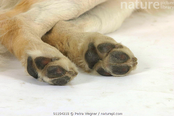Domestic dog, Golden Retriever's back paws  ,  CLOSE UP,CUTOUT,DETAIL,DOGS,FEET,GUNDOGS,PAW,PEDIGREE,PETS,SPORTING,STUDIO,VERTEBRATES,Canids  ,  Petra Wegner