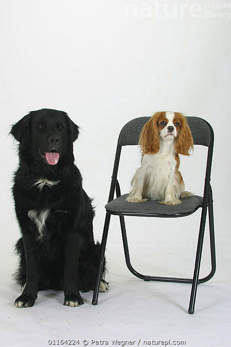 Domestic dog, Mixed Breed Dog next to and Cavalier King Charles Spaniel on chair  ,  BREEDS,CUTOUT,DOGS,FRIENDS,HALF BREED,MONGREL,MUTT,PANTING,PEDIGREE,PETS,SIZE,STUDIO,TOY DOGS,VERTEBRATES,VERTICAL,Canids  ,  Petra Wegner