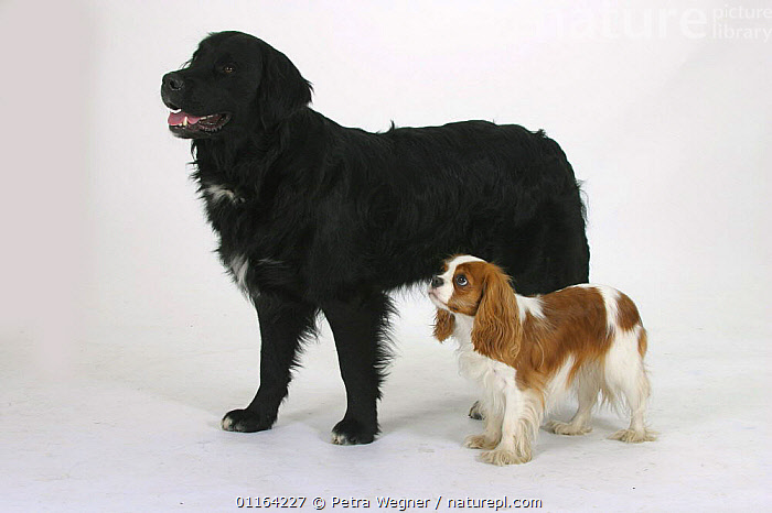 Domestic dog, Mixed Breed Dog and Cavalier King Charles Spaniel, BREEDS,CUTOUT,DOGS,FRIENDS,HALF BREED,MONGREL,MUTT,PEDIGREE,PETS,SIZE,STUDIO,TOY DOGS,VERTEBRATES,Canids, Petra Wegner