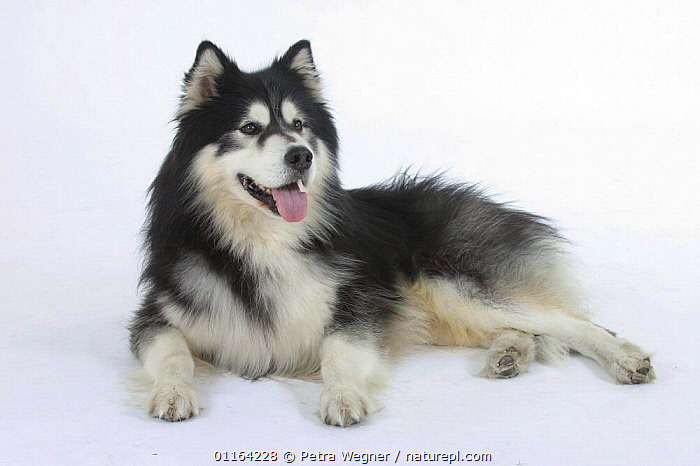 Domestic dog, Alaskan Malamute  ,  CUTOUT,DOGS,LYING DOWN,PANTING,PEDIGREE,PETS,STUDIO,UTILITY,VERTEBRATES,WORKING,Canids  ,  Petra Wegner
