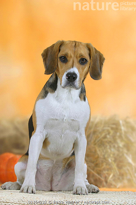 Domestic dog, Beagle portrait, CUTE,DOGS,HOUNDS,PEDIGREE,PETS,SAD,SITTING,STUDIO,VERTEBRATES,VERTICAL,Concepts,Canids, Petra Wegner