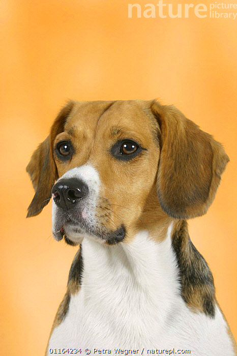 Domestic dog, Beagle, DOGS,FACES,HEADS,HOUNDS,PEDIGREE,PETS,STUDIO,VERTEBRATES,VERTICAL,Canids, Petra Wegner