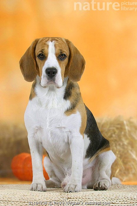 Domestic dog, Beagle  ,  CUTE,DOGS,HOUNDS,PEDIGREE,PETS,SAD,SITTING,STUDIO,VERTEBRATES,VERTICAL,Concepts,Canids  ,  Petra Wegner