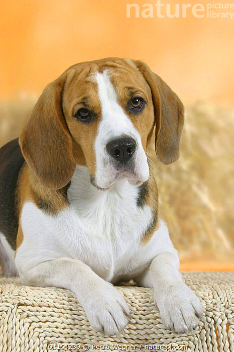 Domestic dog, Beagle, CUTE,DOGS,FACES,HOUNDS,LYING DOWN,PEDIGREE,PETS,SAD,STUDIO,VERTEBRATES,VERTICAL,Concepts,Canids, Petra Wegner