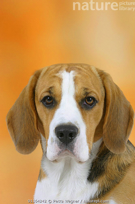 Domestic dog, Beagle  ,  CUTE,DOGS,FACES,HEADS,HOUNDS,PEDIGREE,PETS,SAD,STUDIO,VERTEBRATES,Concepts,Canids  ,  Petra Wegner