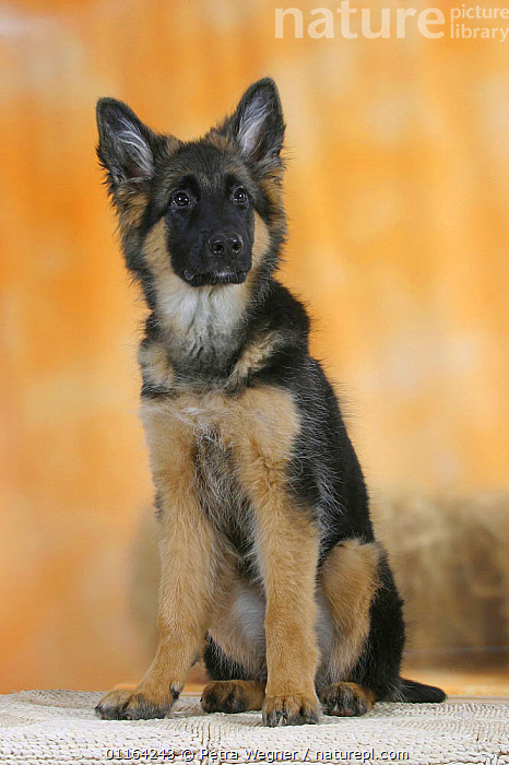 Domestic dog, German Shepherd / Alsatian juvenile. 5 months old, BABIES,BABY,CUTE,DOGS,JUVENILE,PASTORAL,PEDIGREE,PETS,PUPPIES,PUPPY,SITTING,STUDIO,VERTEBRATES,VERTICAL,Canids, Petra Wegner