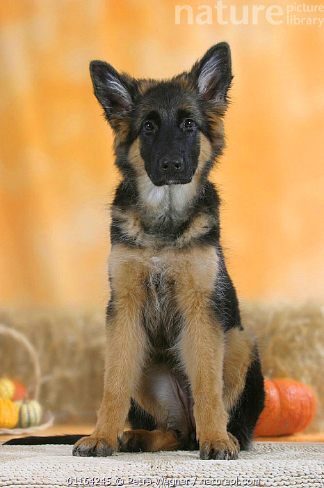 Domestic dog, German Shepherd / Alsatian juvenile. 5 months old  ,  BABIES,BABY,CUTE,DOGS,JUVENILE,PASTORAL,PEDIGREE,PETS,PUPPIES,PUPPY,SITTING,STUDIO,VERTEBRATES,VERTICAL,Canids  ,  Petra Wegner