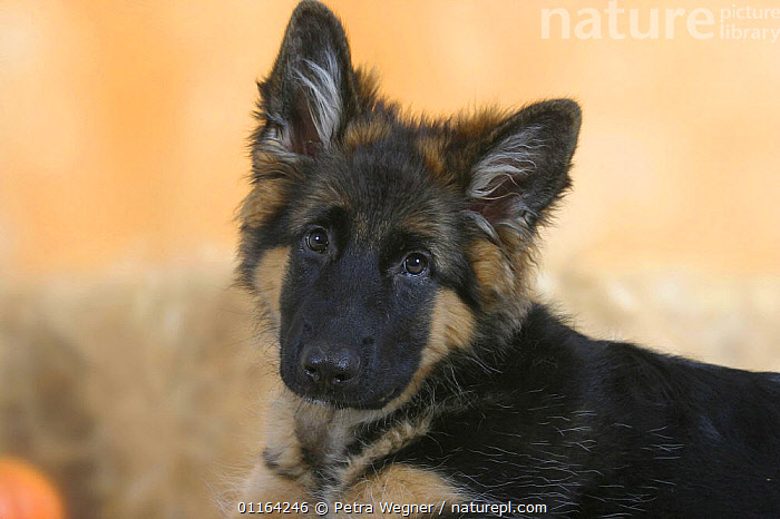 Domestic dog, German Shepherd / Alsatian juvenile. 5 months old  ,  BABIES,BABY,CUTE,DOGS,JUVENILE,PASTORAL,PEDIGREE,PETS,PUPPIES,PUPPY,STUDIO,VERTEBRATES,Canids  ,  Petra Wegner