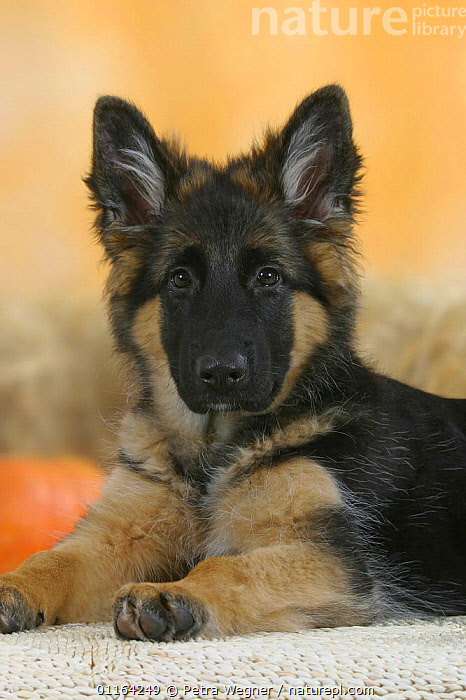 Domestic dog, German Shepherd / Alsatian juvenile. 5 months old  ,  BABIES,BABY,CUTE,DOGS,JUVENILE,LYING DOWN,PASTORAL,PEDIGREE,PETS,PUPPIES,PUPPY,STUDIO,VERTEBRATES,VERTICAL,Canids  ,  Petra Wegner