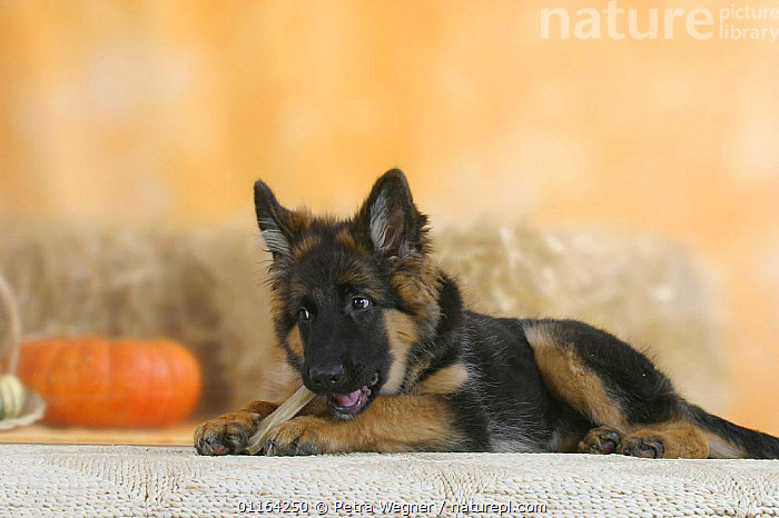 Domestic dog, German Shepherd / Alsatian juvenile. 5 months old, chewing on rawhide bone  ,  BABIES,BABY,CUTE,DOGS,JUVENILE,LYING DOWN,PASTORAL,PEDIGREE,PETS,PUPPIES,PUPPY,STUDIO,VERTEBRATES,Canids  ,  Petra Wegner