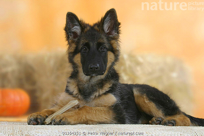 Domestic dog, German Shepherd / Alsatian juvenile. 5 months old, with rawhide bone, BABIES,BABY,CUTE,DOGS,JUVENILE,LYING DOWN,PASTORAL,PEDIGREE,PETS,PUPPIES,PUPPY,STUDIO,VERTEBRATES,Canids, Petra Wegner