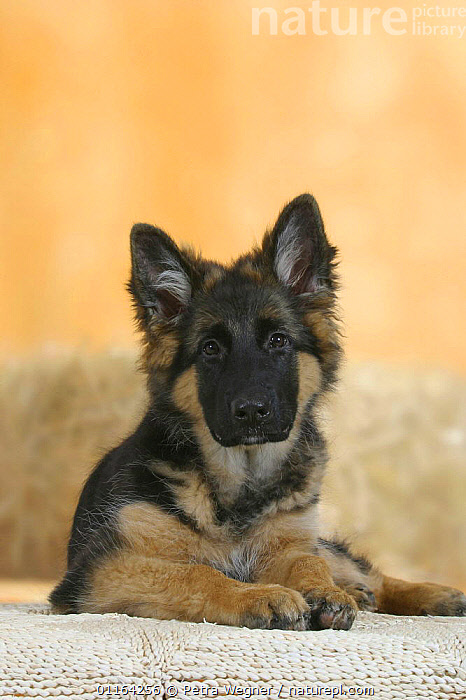 Domestic dog, German Shepherd / Alsatian juvenile. 5 months old, BABIES,BABY,CUTE,DOGS,JUVENILE,LYING DOWN,PASTORAL,PEDIGREE,PETS,PUPPIES,PUPPY,STUDIO,VERTEBRATES,VERTICAL,Canids, Petra Wegner