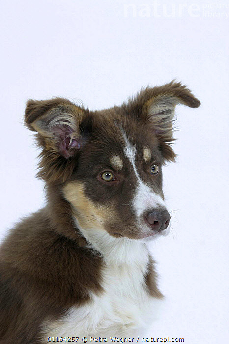 Domestic dog, Border Collie puppy, 4 months old  ,  BABIES,BABY,CUTE,CUTOUT,DOGS,FACES,JUVENILE,PEDIGREE,PETS,PUPPIES,PUPPY,STUDIO,VERTEBRATES,VERTICAL,Canids  ,  Petra Wegner