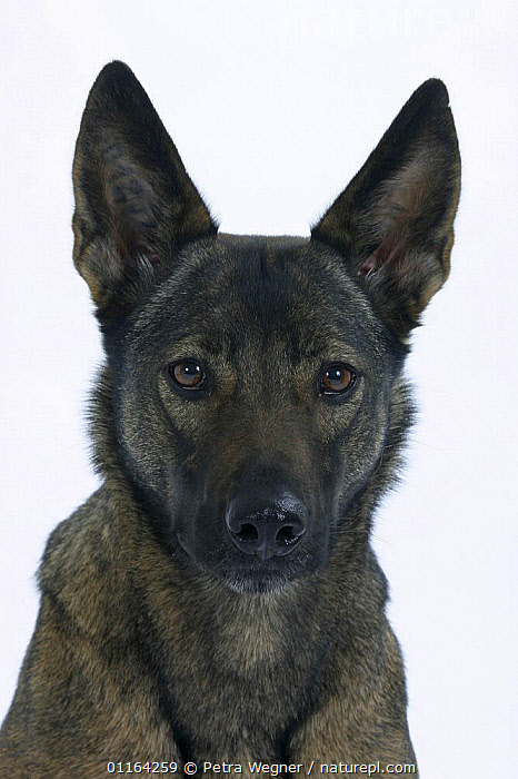 Domestic dog, Mixed Breed Dog, CUTOUT,DOGS,EARS,FACES,HALF BREED,MONGREL,MUTT,PETS,STUDIO,VERTEBRATES,VERTICAL,Canids, Petra Wegner