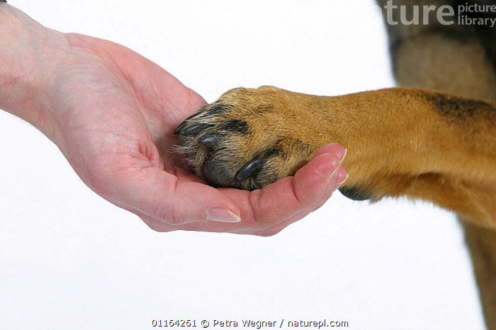 Human hand and dog's paw  ,  CUTOUT,DOGS,HANDS,PAWS,PEDIGREE,PEOPLE,PETS,STUDIO,VERTEBRATES,Canids  ,  Petra Wegner