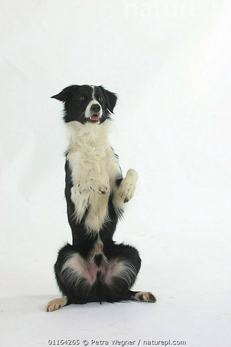 Domestic dog, Border Collie in begging position / sitting on hind legs  ,  CUTOUT,DOGS,PASTORAL,PEDIGREE,PETS,STUDIO,TRAINED,TRICKS,VERTEBRATES,VERTICAL,Canids  ,  Petra Wegner