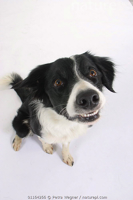 Domestic dog, an excited Border Collie looking up  ,  CUTE,CUTOUT,DOGS,FACES,FUNNY,NOSES,PASTORAL,PEDIGREE,PETS,STUDIO,VERTEBRATES,VERTICAL,Canids  ,  Petra Wegner