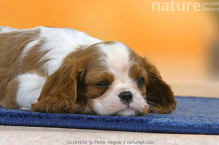 Domestic dogs, sleepy Cavalier King Charles Spaniel puppy (Blenheim), 7 weeks old  ,  BABIES,BABY,CUTE,DOGS,JUVENILE,LAZY,LYING DOWN,PEDIGREE,PETS,PUPPIES,STUDIO,TOY DOGS,VERTEBRATES,Canids  ,  Petra Wegner
