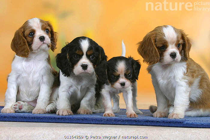 Domestic dogs, four Cavalier King Charles Spaniel puppies, 7 weeks old, of different sizes and colours  ,  BABIES,BABY,CUTE,DOGS,FRIENDS,JUVENILE,PEDIGREE,PETS,PUPPIES,PUPPY,SITTING,STUDIO,TOY DOGS,VERTEBRATES,Canids  ,  Petra Wegner