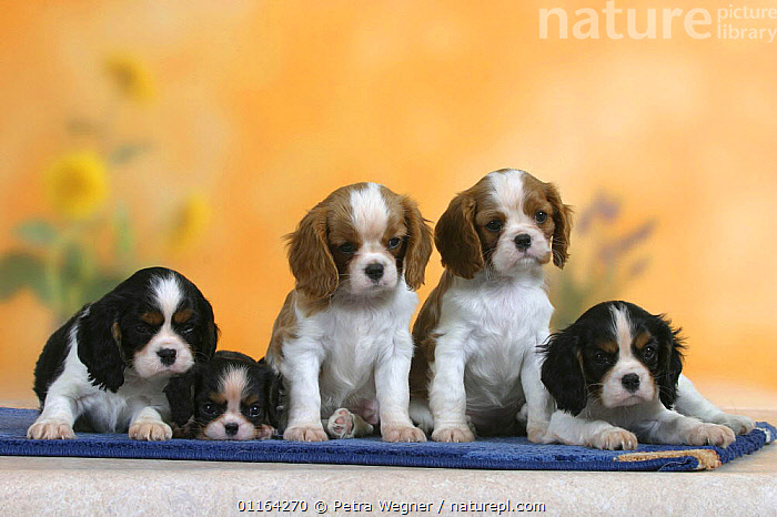 Domestic dogs, five Cavalier King Charles Spaniel puppies, 7 weeks old of different colours and sizes  ,  BABIES,BABY,CUTE,DOGS,FRIENDS,JUVENILE,LYING DOWN,PEDIGREE,PETS,PUPPIES,PUPPY,SITTING,STUDIO,TOY DOGS,VERTEBRATES,Canids  ,  Petra Wegner