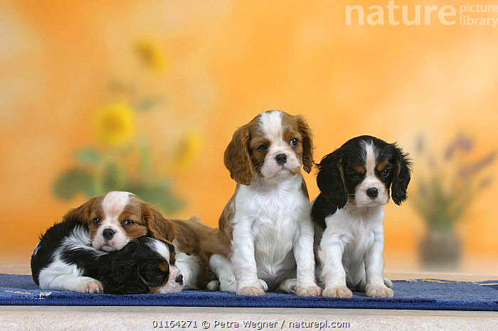 Domestic dogs, four Cavalier King Charles Spaniel puppies, 7 weeks old, of different colours., BABIES,BABY,CUTE,DOGS,FRIENDS,JUVENILE,LAZY,LYING DOWN,PEDIGREE,PETS,PUPPIES,PUPPY,SITTING,SLEEPING,SLEEPY,STUDIO,TOY DOGS,VERTEBRATES,Canids, Petra Wegner