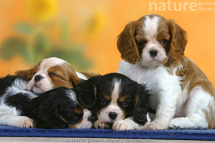 Domestic dogs, four sleepy Cavalier King Charles Spaniel puppies, 7 weeks old, of different colours  ,  BABIES,BABY,CUTE,DOGS,FRIENDS,JUVENILE,LYING DOWN,PEDIGREE,PETS,PUPPIES,PUPPY,SITTING,SLEEPING,STUDIO,TOY DOGS,VERTEBRATES,Canids  ,  Petra Wegner