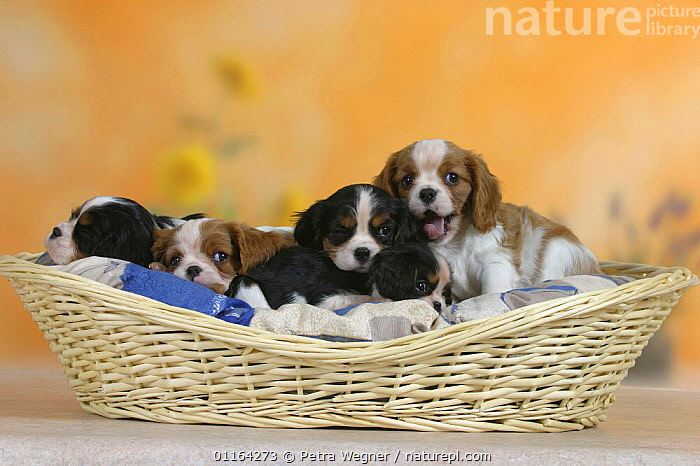 Domestic dogs, five Cavalier King Charles Spaniel puppies, 7 weeks old, in basket. Note their different colours and sizes.  ,  BABIES,BABY,CUTE,DOGS,FRIENDS,JUVENILE,LYING DOWN,PEDIGREE,PETS,PUPPIES,PUPPY,STUDIO,TOY DOGS,VERTEBRATES,Canids  ,  Petra Wegner
