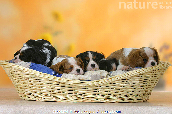 Domestic dogs, five Cavalier King Charles Spaniel puppies, 7 weeks old, sleeping in basket  ,  BABIES,BABY,CUTE,DOGS,FRIENDS,JUVENILE,LYING DOWN,PEDIGREE,PETS,PUPPIES,PUPPY,STUDIO,TOY DOGS,VERTEBRATES,Canids  ,  Petra Wegner