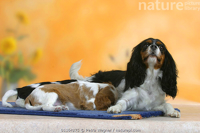 Domestic dogs, Cavalier King Charles Spaniel bitch nursing puppies, 7 weeks old  ,  BABIES,BABY,CUTE,DOGS,FAMILIES,FEEDING,JUVENILE,MOTHER,PEDIGREE,PETS,PUPPIES,PUPPY,STUDIO,SUCKLING,TOY DOGS,VERTEBRATES,Canids  ,  Petra Wegner