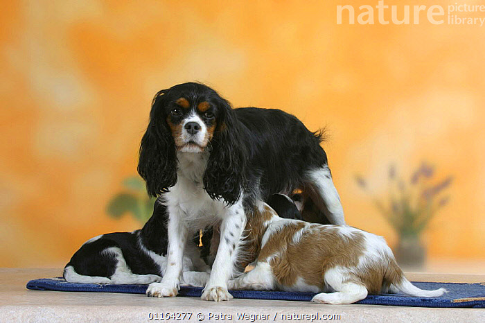 Domestic dog, Cavalier King Charles Spaniel bitch nursing puppies, 7 weeks old, BABIES,BABY,CUTE,DOGS,FAMILIES,FEEDING,JUVENILE,MOTHER,PEDIGREE,PETS,PUPPIES,PUPPY,STUDIO,SUCKLING,TOY DOGS,VERTEBRATES,Canids, Petra Wegner