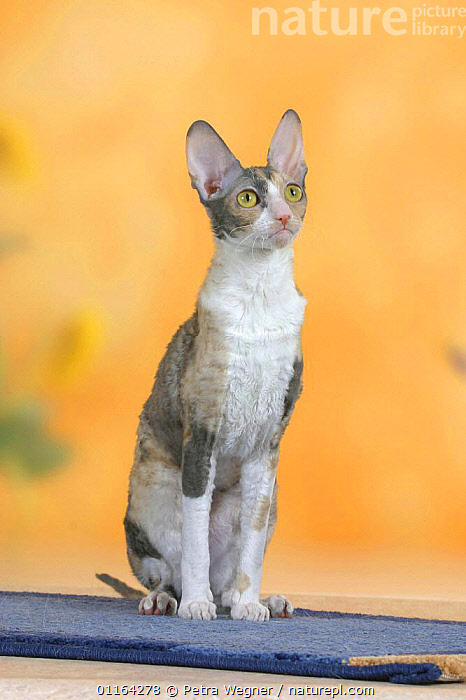Cornish Rex Cat, bicolor blue-tortie, ALERT,CATS,EARS,PEDIGREE,PETS,SITTING,STUDIO,VERTEBRATES,VERTICAL, Petra Wegner