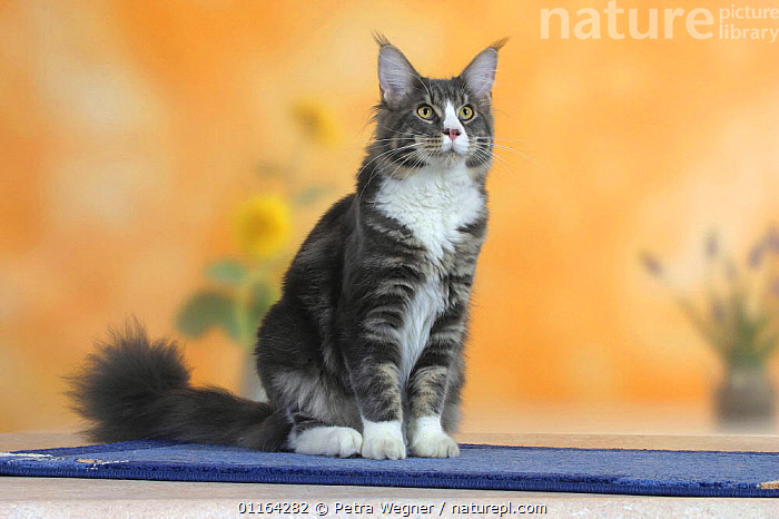 Maine Coon Cat, CATS,PEDIGREE,PETS,SITTING,STUDIO,VERTEBRATES, Petra Wegner